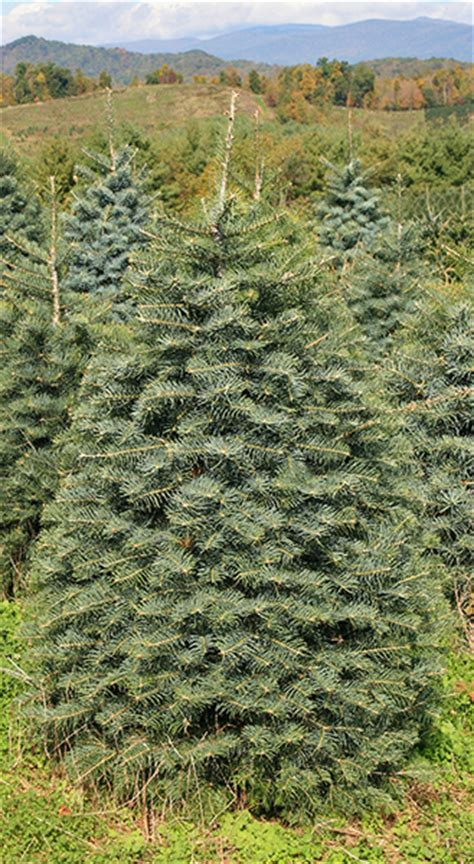 concolor smell like oranges christmas trees best wholesale trees