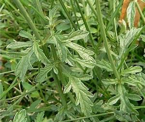 Verveine Plante Tisane : verveine officinale blog v g tal ~ Mglfilm.com Idées de Décoration