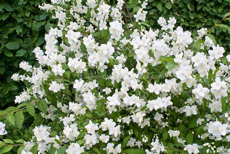 white flowering shrubs philadelphus coronarius mockorange j029887 jpg plant flower stock photography gardenphotos com