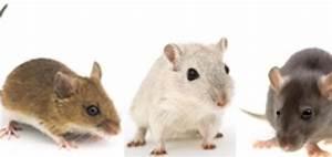 Comment Tuer Un Rat : comment tuer des souris dans les murs taupier sur la france ~ Melissatoandfro.com Idées de Décoration
