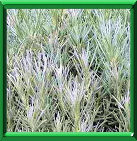 immortelle d italie cuisine immortelle d 39 italie ou helichrysum italicum serotinum