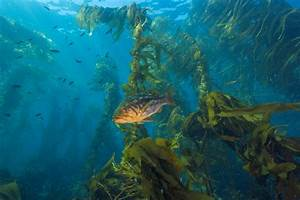 Kelp Forests Thriving In Some Locations Despite Environmental Stressors  Stanford Researcher