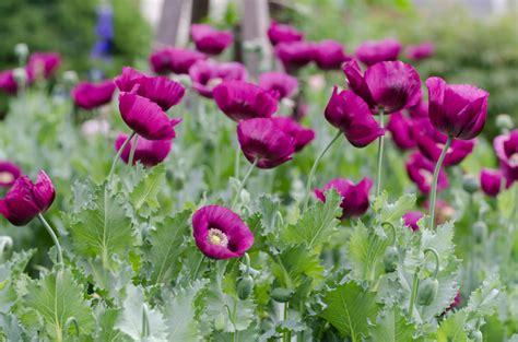 Garten Mohn Pflanzen mohn im garten 187 diese arten gedeihen am besten im beet