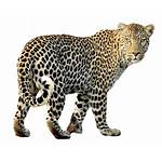 Clipart Jaguar Leopard Transparent Animal Mammal Webstockreview