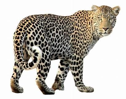 Leopard Transparent Purepng