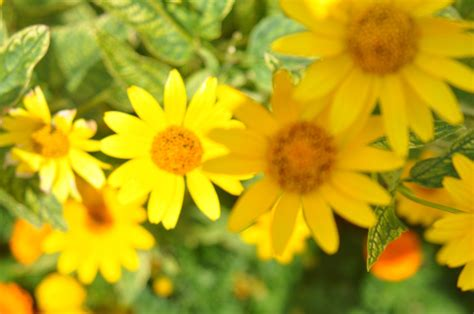 yellow flowers global wallpapers