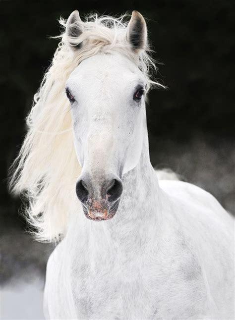 lipizzaner paardenrassen nederlandsepaardenblogjouwwebnl