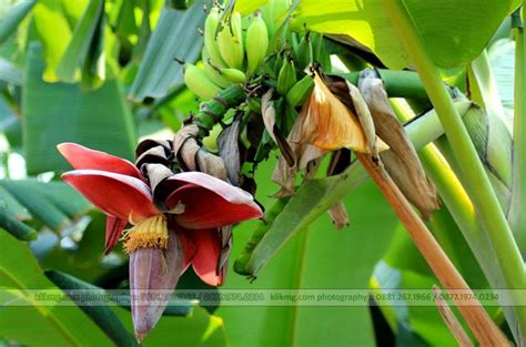 is jantung pin by mg fotografi on flora plants photos
