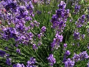 Pflege Von Lavendel : lavendel pflege ~ Lizthompson.info Haus und Dekorationen