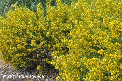 Yellow Flowering Desert Senna In San Antonio Digging
