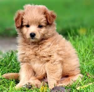 pomapoo pomeranian poodle mix info temperament puppies