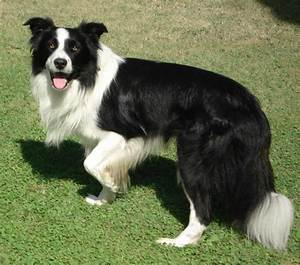 Border Collie Dog Breed » Information, Pictures, & More