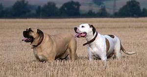 American Bull Dane designer dogs - Dog Breed Standards