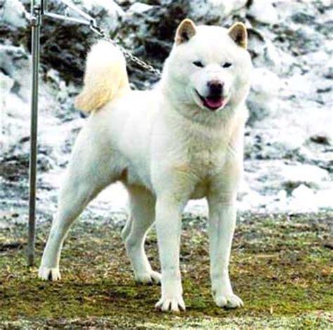 hokkaido dog breed info characteristics traits