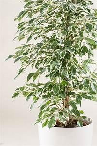 Ficus Benjamini Kaufen : birkenfeige ficus terrarienpflanzen und ficusbaum ~ A.2002-acura-tl-radio.info Haus und Dekorationen
