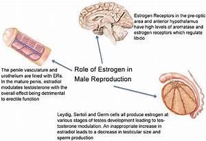 Estradiol Function  Normal Estradiol Levels  Uses  Test  Dosage  U0026 Side Effects