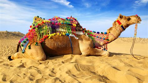 Pushkar Camel Festival Background by Camel Festival In Bikaner India Stock Image Image Of