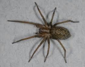 Hobo Spider Bites Poisonous