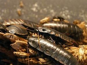 Comment Éliminer Les Cafards : comment liminer naturellement les insectes rampants ~ Melissatoandfro.com Idées de Décoration
