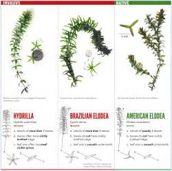 Hydrilla Identification Related Keywords & Suggestions