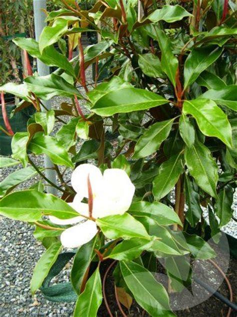 speciality trees magnolia grandiflora kay parris xm