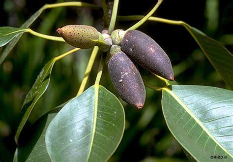 mengenal pohon ara pisangficus crassipes tanamanbonsaicom