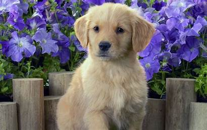 Retriever Golden Puppy Puppies Dog Dogs Brown
