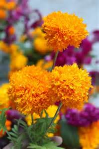 Mexican Marigold the Flower of the Dead