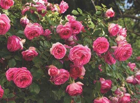 Best Perfume Roses Images Pinterest Garden