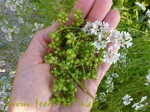 From Seed To Table: Fresh Coriander Seed