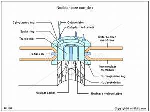 Nuclear Pore Complex Illustrations