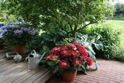 Hortensien überwintern Im Keller : berwintern von k belpflanzen tipps und hinweise ~ Frokenaadalensverden.com Haus und Dekorationen