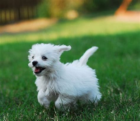 Do Bichons Shed Hair by Small Hypoallergenic Breeds Medium Breeds What