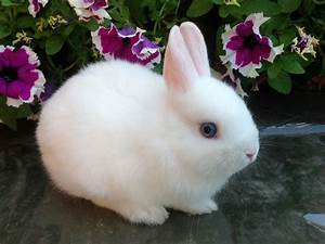 White Dwarf Rabbit Blue Eyes (page 2) - Pics about space