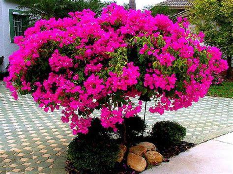 resep herbal  tanaman bugenvil  kesehatan