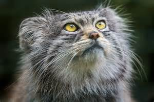 pallas cat why the pallas cat should become your new favorite animal