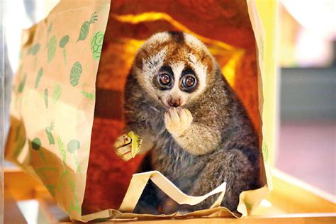 Slow loris finds new home at The Green Planet in Dubai