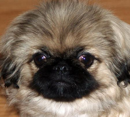 pekingese pictures  images