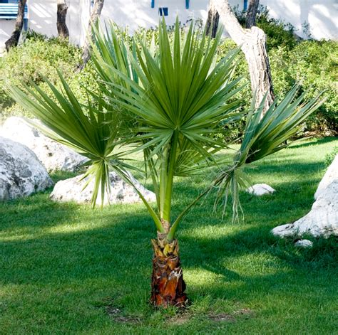 washingtonia planter et entretenir ooreka