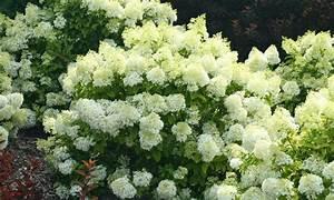 Welche Pflanzen Passen Gut Zu Hortensien : hydrangea 39 bobo 39 xxl plant groupon goods ~ Lizthompson.info Haus und Dekorationen