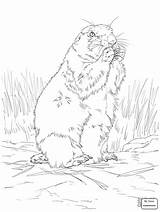 Prairie Dog Coloring Tailed Pages Drawing Printable Getdrawings Categories sketch template