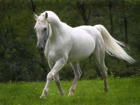 horse wallpapers horses isaiah running arabian hd stallion pony pretty desktop beauty mare most caballos animals shagya stunning cavalo blanc