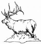 Elk Coloring Pages Bull Printable Animals Mohawk Skull Sheet Colornimbus sketch template