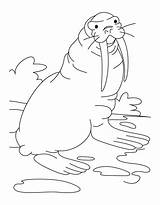 Coloring Walrus sketch template