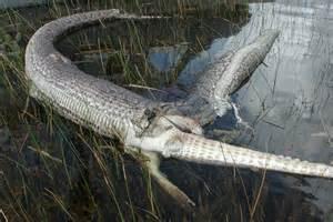 Burmese Python Attacks Alligator