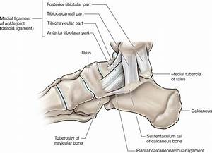 Medial Tubercle Of Calcaneus | www.imgkid.com - The Image ...