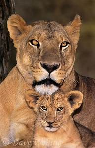 mother lion with cubs tattoo - Google Search | animal ...