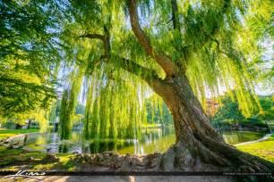 wispering willow tree boston garden