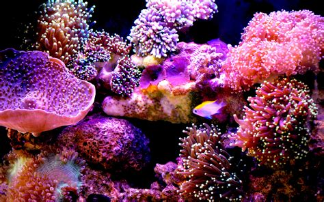 brightly colored fish brightly colored pink and purple coral wallpaper wiki