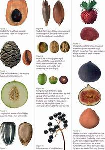 Pdf  A Manual For The Identification Of Plant Seeds And